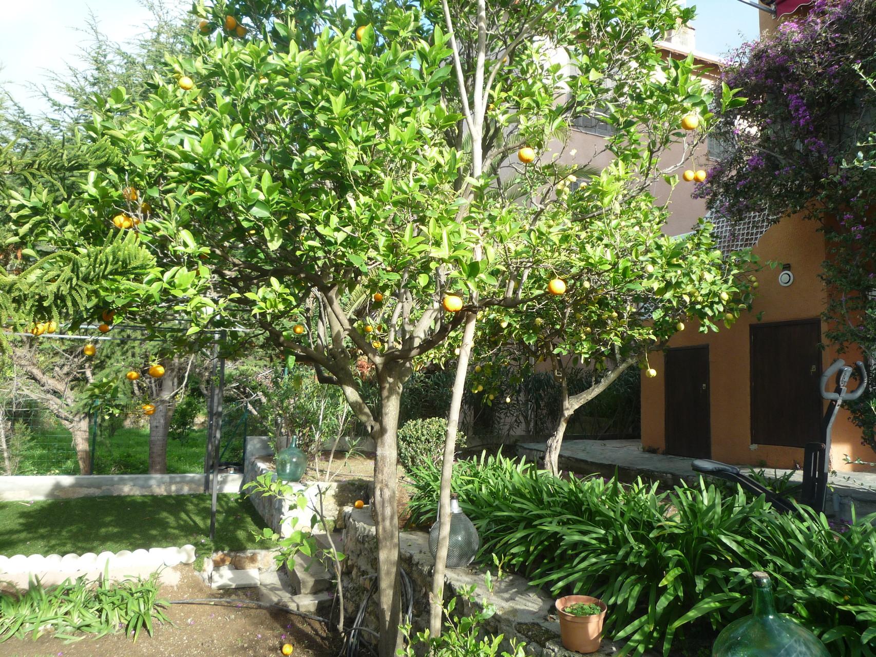 vue du citronnier dans le jardin - la maison de Ninette -