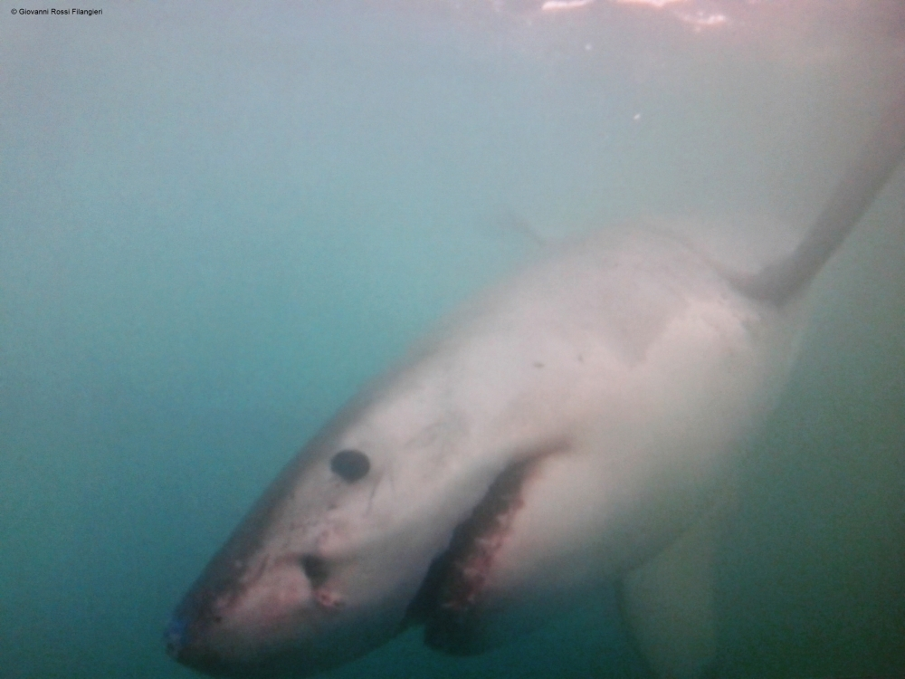 SUDAFRICA grande squalo bianco