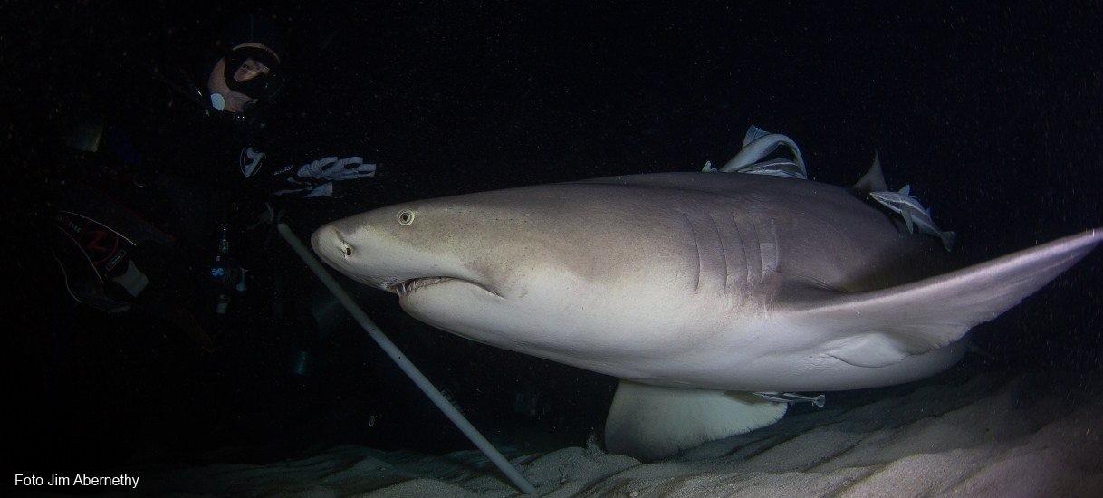 BAHAMAS squalo di notte
