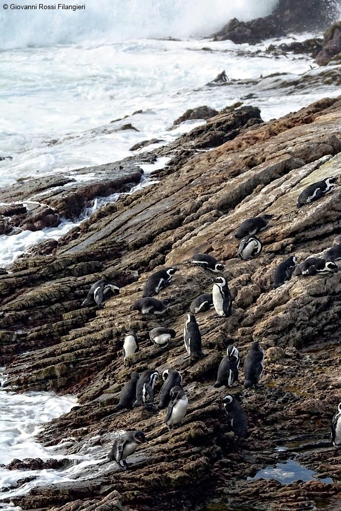 SUDAFRICA pinguini a Betty's bay