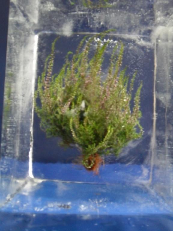 Einfrierung: Erikapflanze im Eisblock,vorderansicht