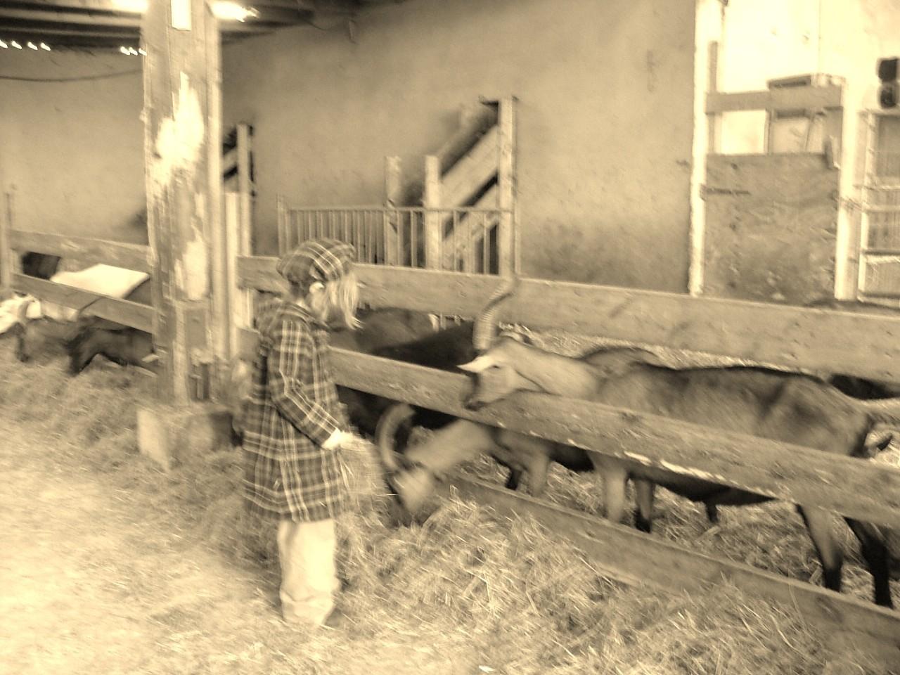 Les chèvres ont une plus de foin que d'habitude...