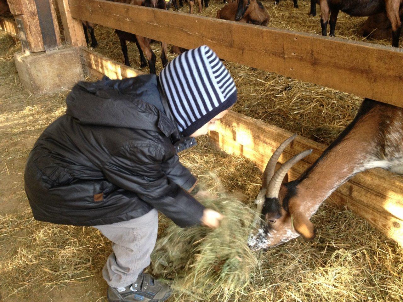 Les enfants donnent du foin aux chèvres