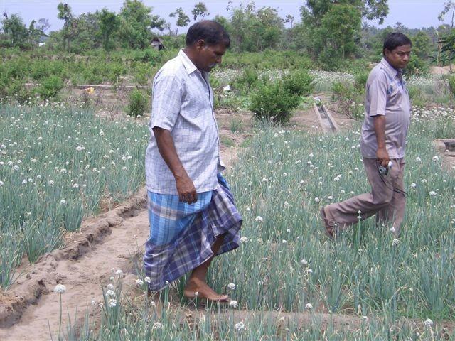 Décembre 2005 - Replantation de plants d'oignon dans un terrain anciennement salé