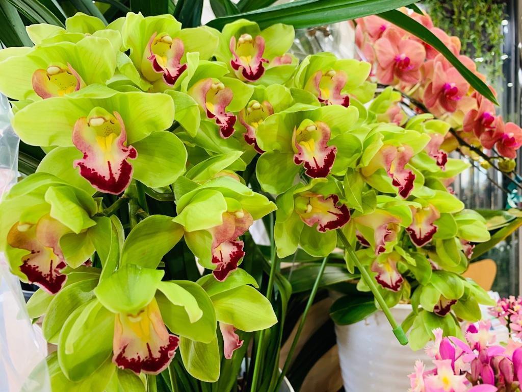 お祝い事の贈り物には蘭の花鉢が人気です