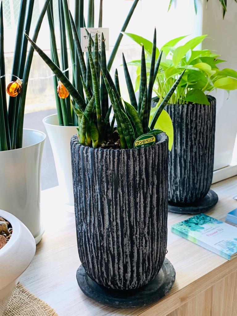 空気を浄化する観葉植物「サンスベリア」