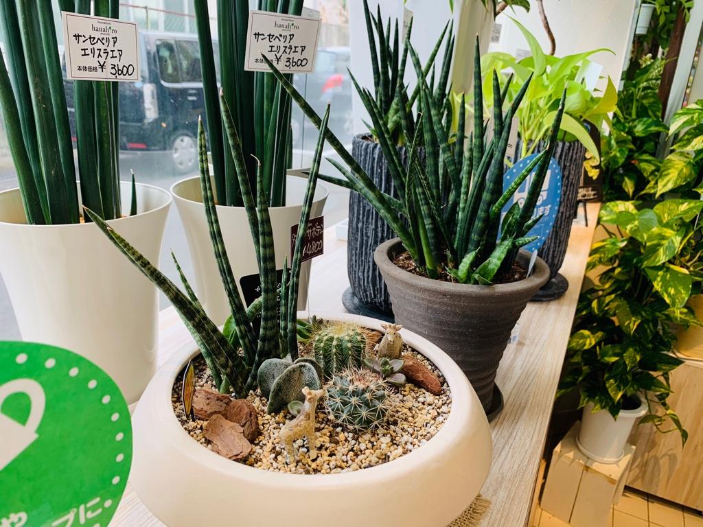 水やりもあまり要らない育てやすいサボテン寄せ植え