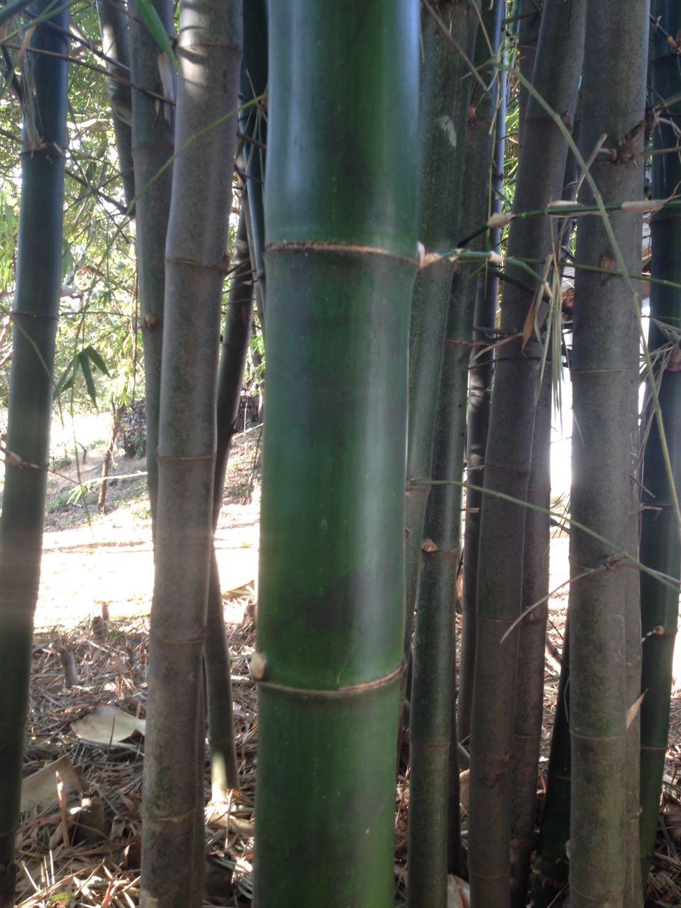 Auf der Suche nach der gewünschten Menge Bambus ...