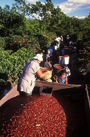 Kaffee-Ernte in Brasilien