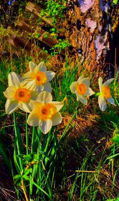 Narzissen + narcissi + daffodil