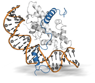 Figure 1: Crystal structure of the NF-Y heterotrimer. The NF-YB/C heterodimer (licght and dark grey) forms a histone-fold that can interact with the double stranded DNA (black/orange), but still needs NF-YA (blue) to be locked into place.