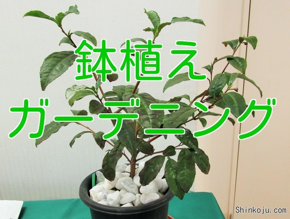 茶 鉢植え ガーデニング