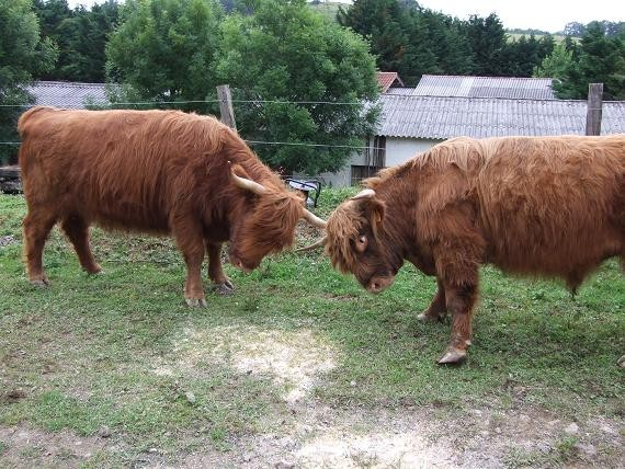 Vaches Ecossaises en colère