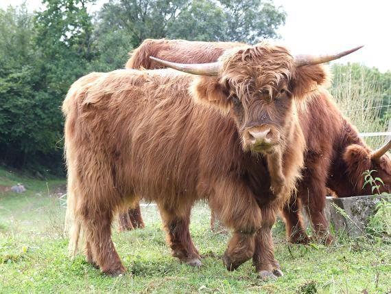 Vaches Ecossaises sur le terrain