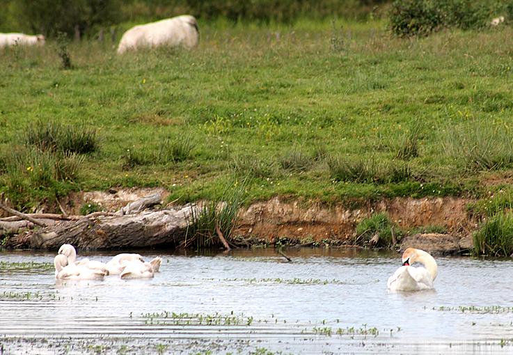 moutons et cygnes