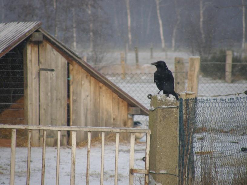 Gern gesehener Dauergast - Die Krähen halten den Habicht auf Distanz (Feb. 2012)