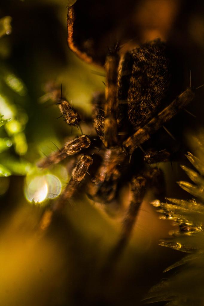 Araignée cachée