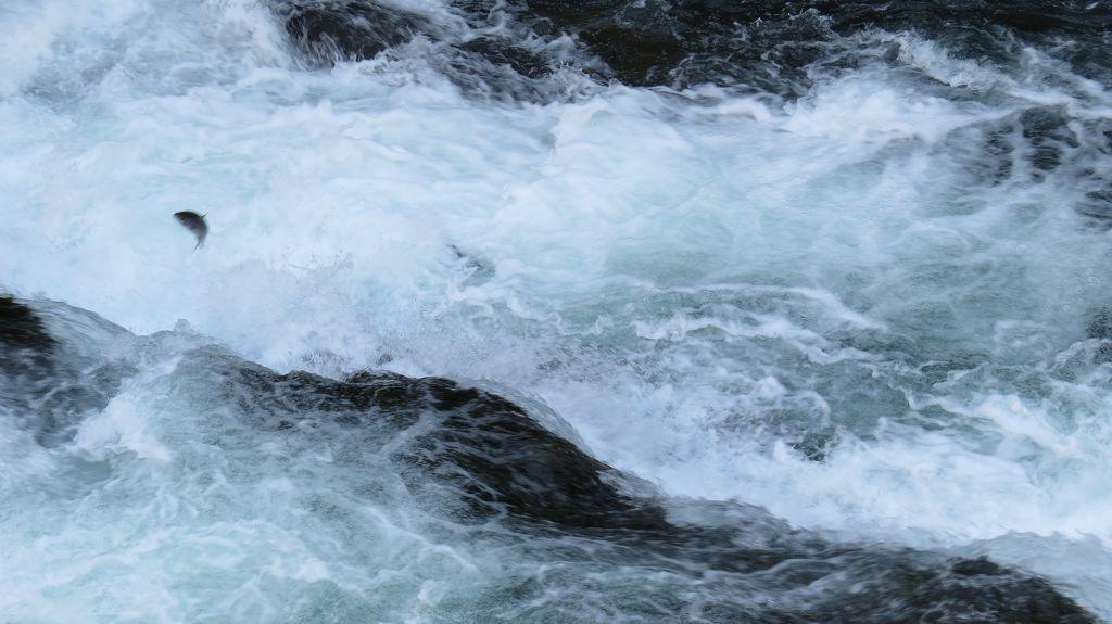 Die Lachse kommen (Russian River Falls)