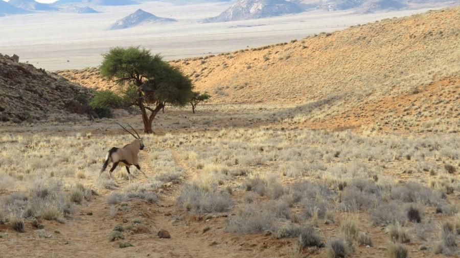 Oryx auf der Flucht (vor uns)