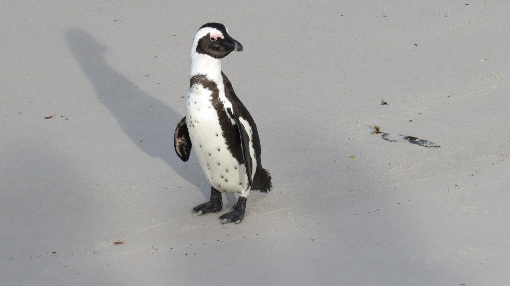 Bei den Pinguinen in Simon's Town
