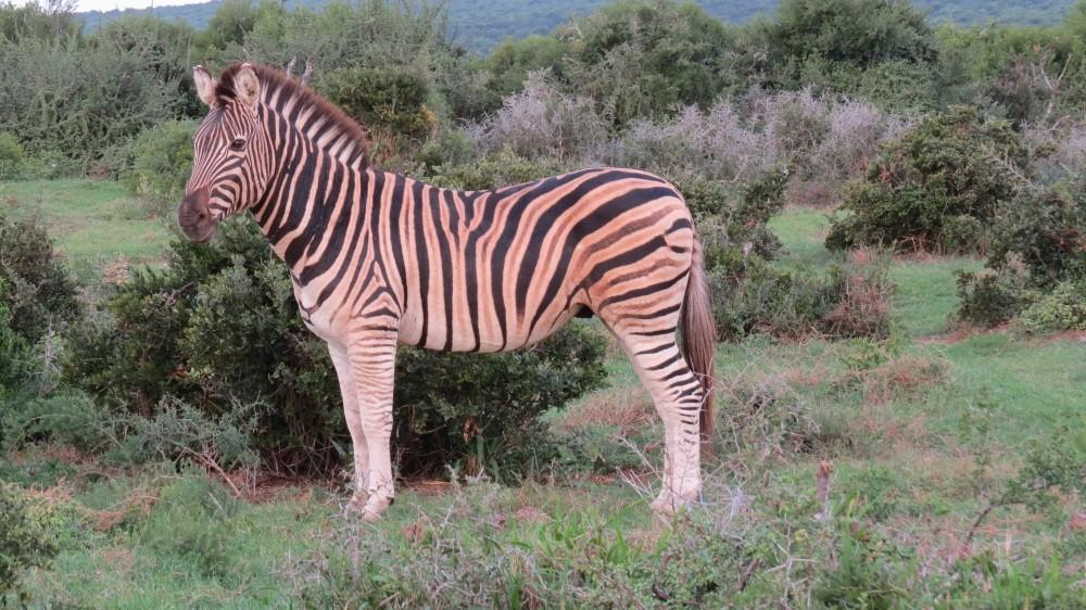 letztes Tier für heute: ein Zebra