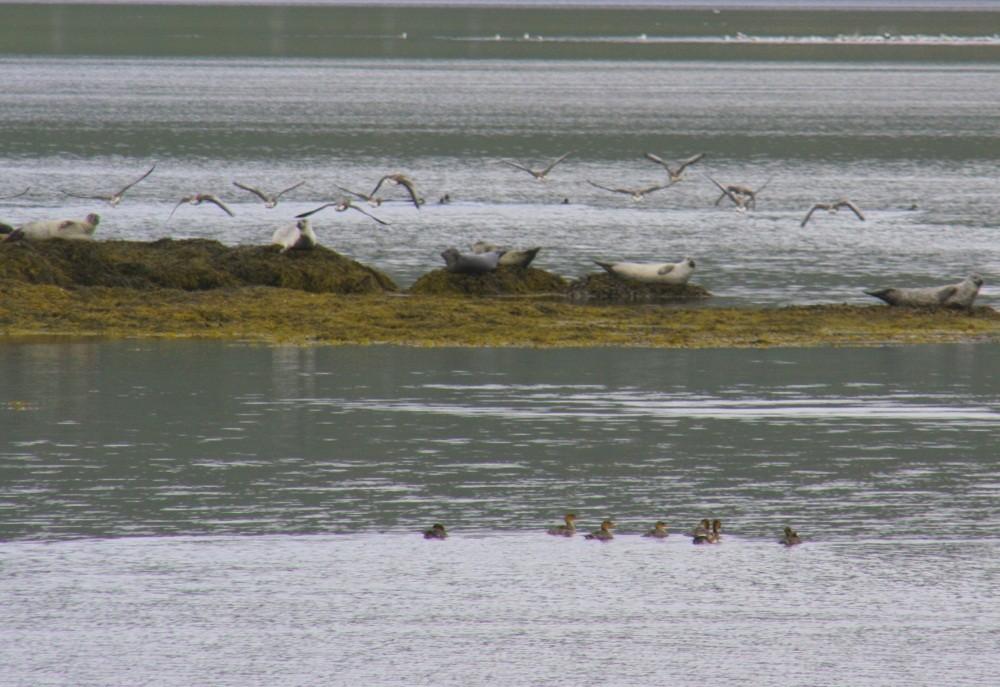 Auch in den Westfjorden kann man Robben beobachten