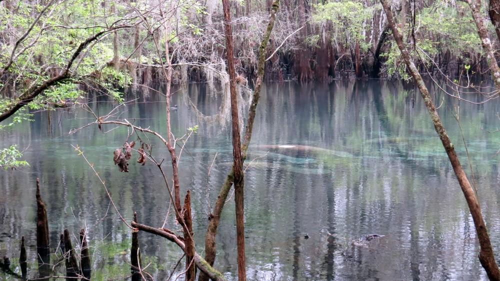 Die Manatees liegen faul im Wasser