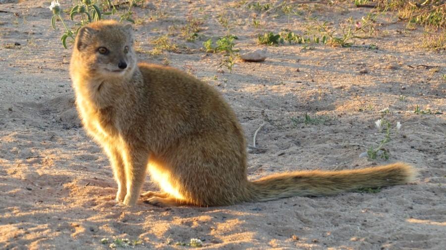 Und wieder Besuch: eine Fuchsmanguste