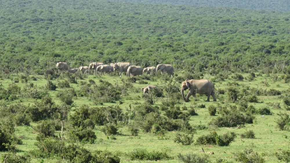 Elefantenherde unterwegs
