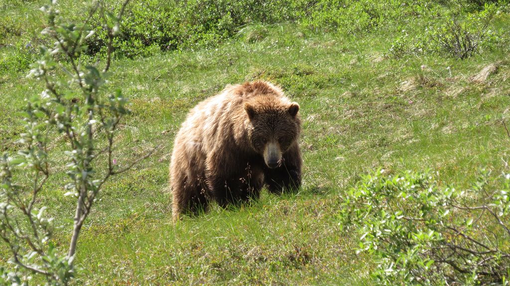 unser erster Grizzly