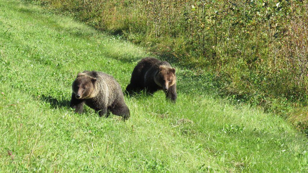 Wir treffen wieder mal auf Grizzlys