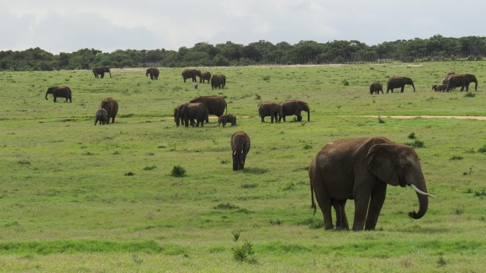 Heute sehen wir über 100 Elefanten !