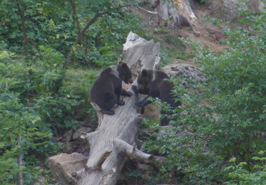 Bärenkinder beim Spielen