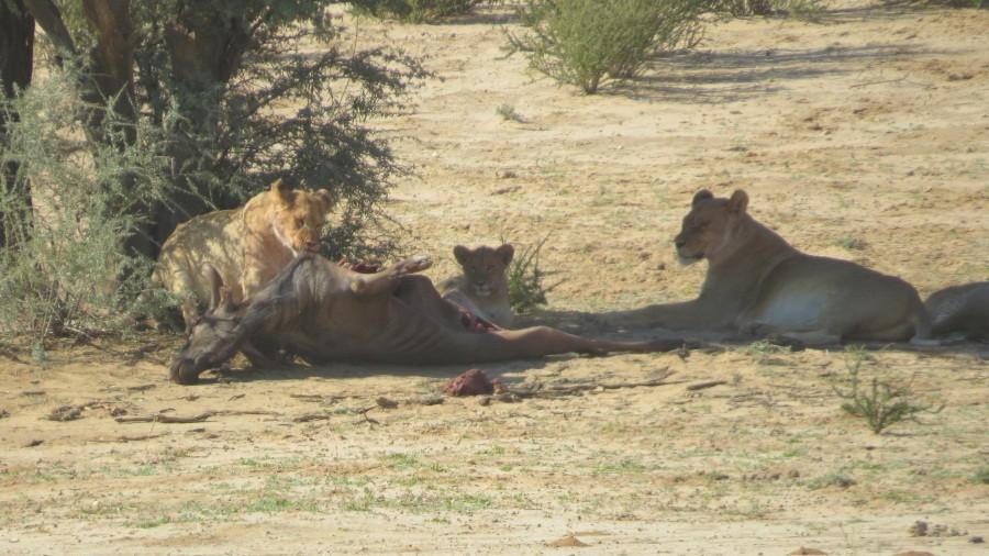 Löwenrudel mit Riß