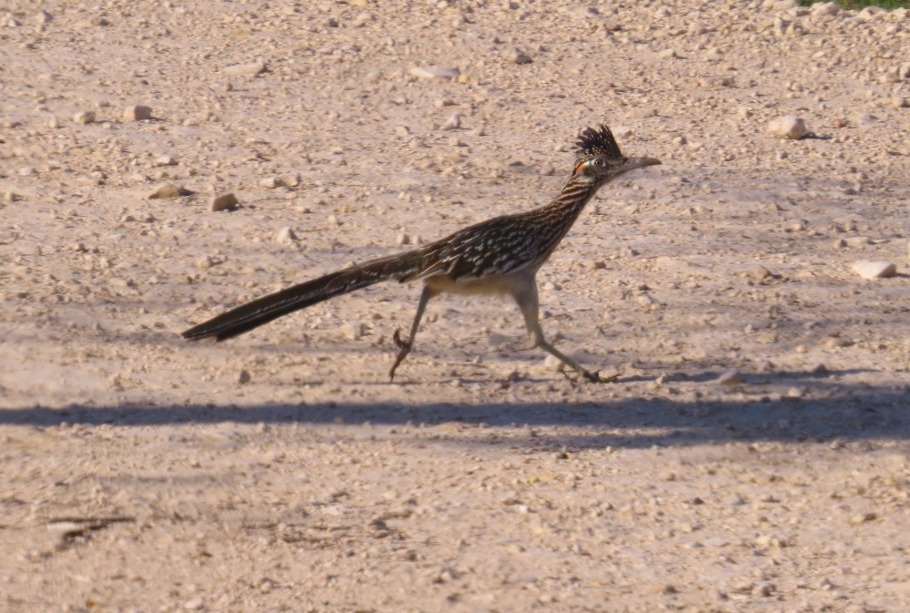 Texas Road-Runner