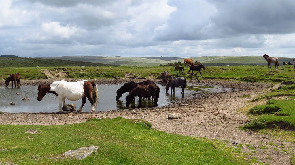 Wild lebende Pferde im Dartmoor