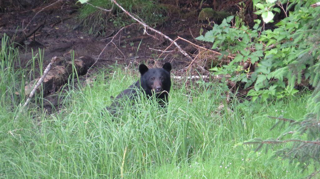 Schwarzbären auf der Strecke