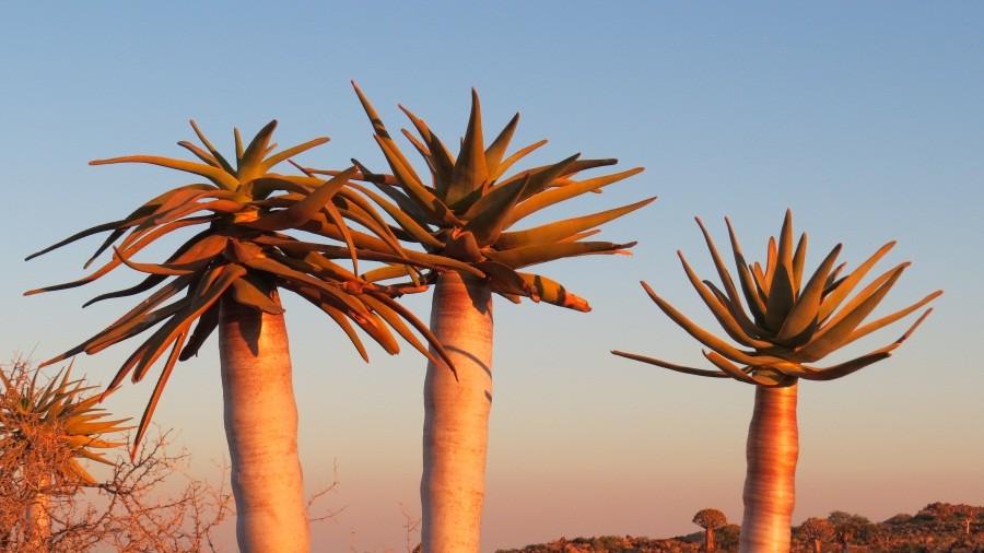 Sonnenaufgang bei den Köcherbäumen