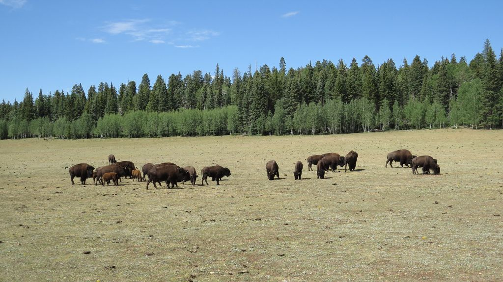 Bisonherde am Grand Canyon North Rim