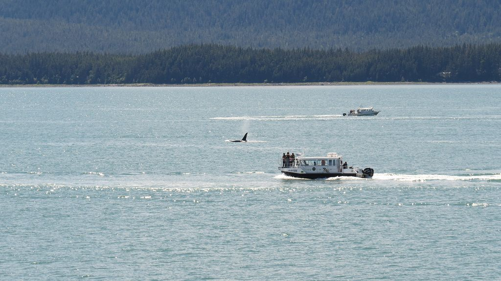 Orca Watching