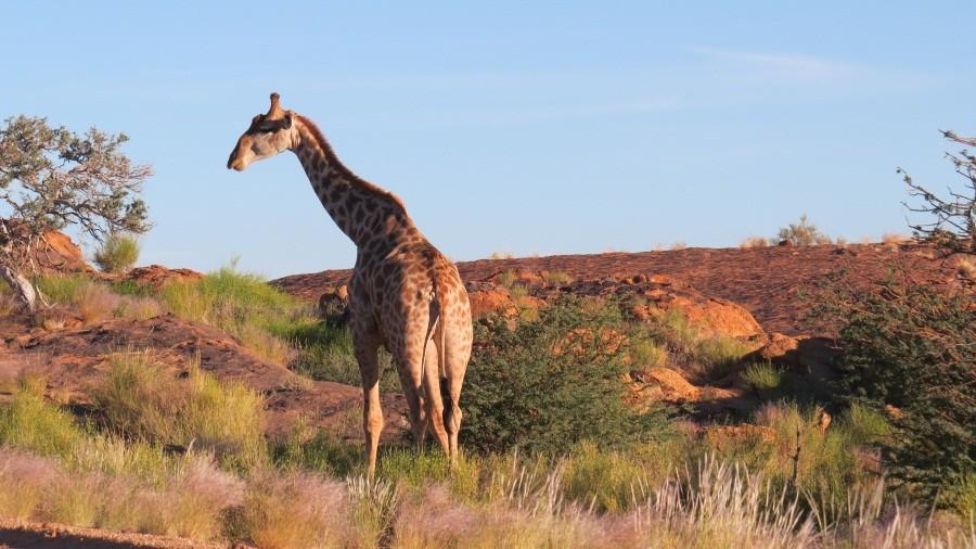 Giraffen in der Morgensonne