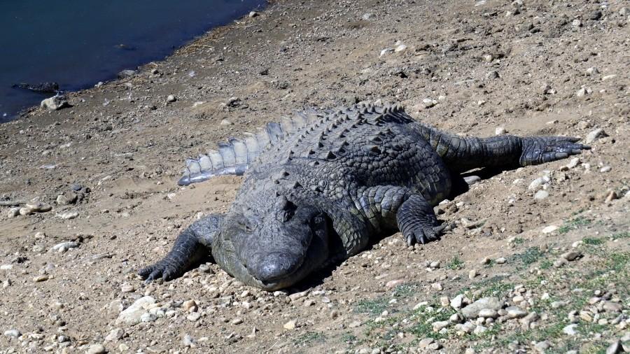 ...zu den Krokodilen...