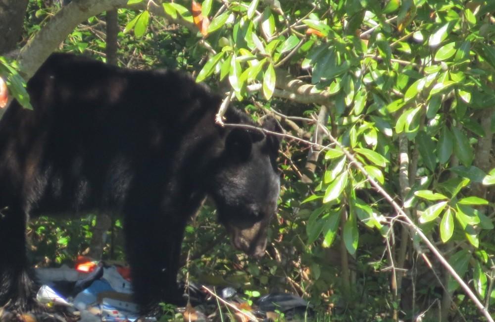 Unser erster Bär ist leider ein Müllbär !