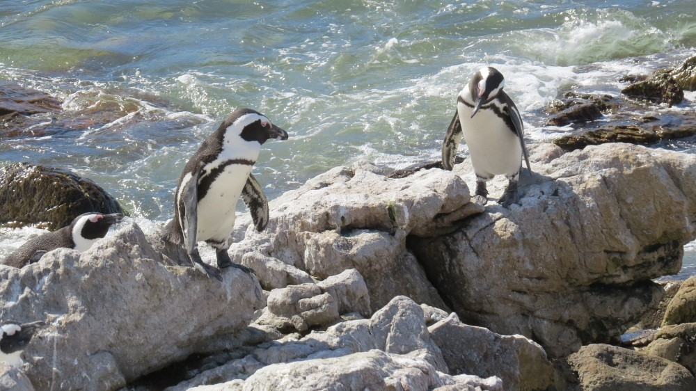 Pinguin Kolonie bei Betty's Bay