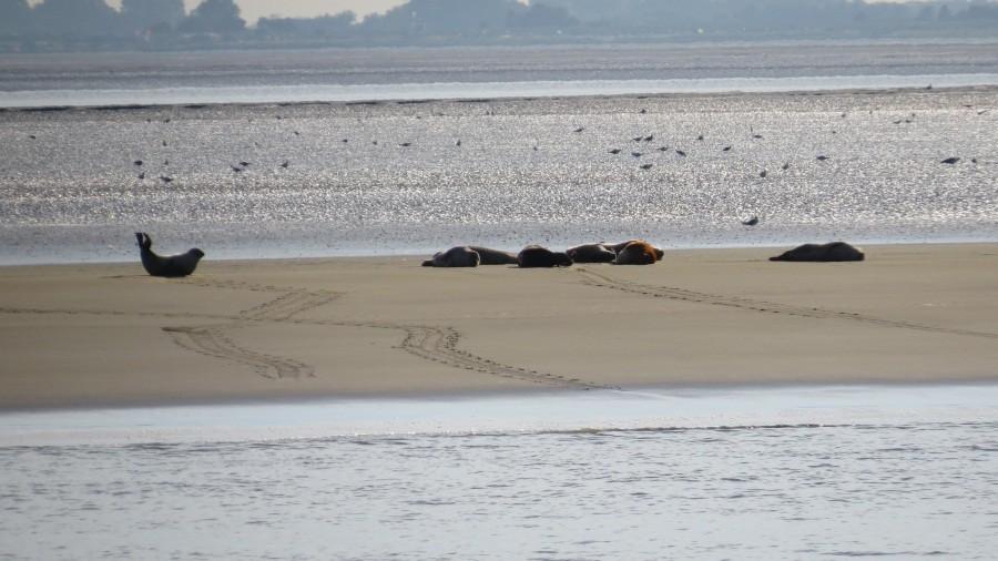 Robben auf der Sandbank vor Bremerhaven