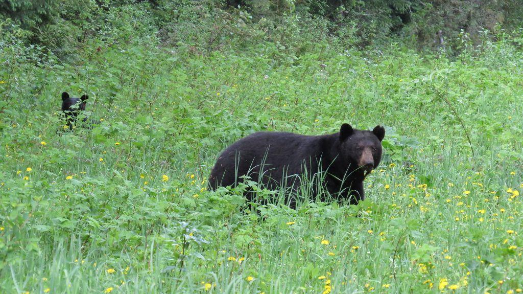 Und wieder Schwarzbären