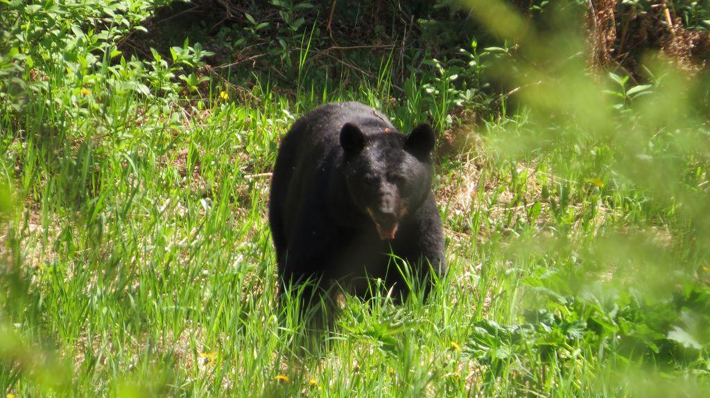 Erster Schwarzbär
