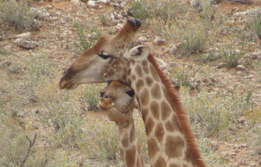 Giraffen-Liebe