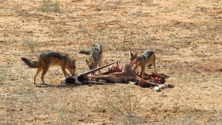 Schakale am nächtlichen Riß der Löwen...