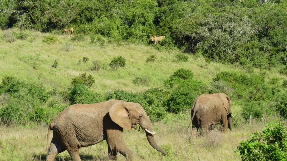 ...Elefant vertreibt Löwe